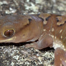Image of Fine-faced Gecko