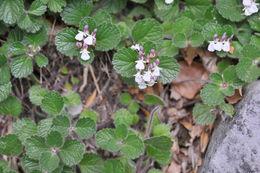 Image of <i>Teucrium <i>pyrenaicum</i></i> pyrenaicum