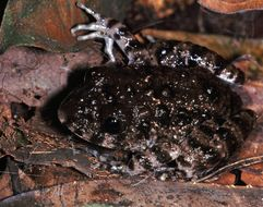 Image of Gaboon Forest Frog