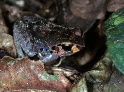 Image of Buea Screeching Frog