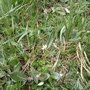 Image of grass of Parnassus