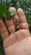 Image of <i>Lafoensia pacari</i> St.-Hil.