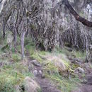 Image of Tree Heath