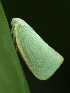 Image of <i>Anormenis chloris</i>