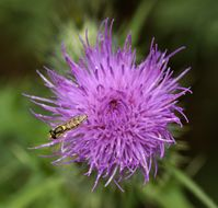 Image of Spear Thistle