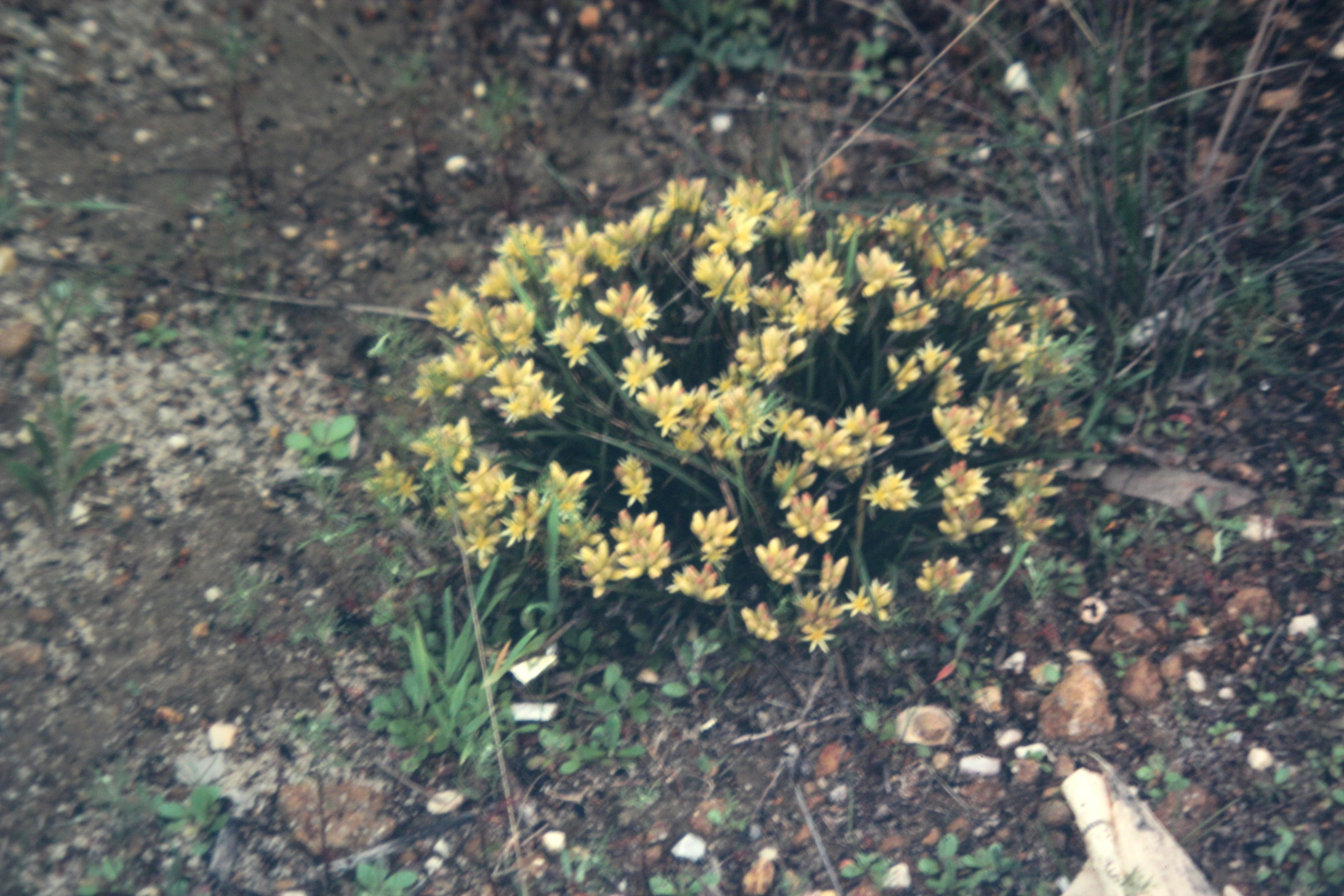 Image of <i>Conostylis teretifolia</i> J. W. Green
