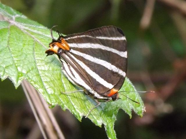 Image of <i>Panthiades bathildis</i>