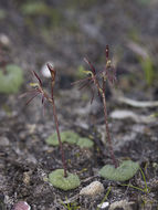 Image of Small Gnat-orchid