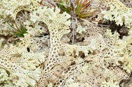 Image of <i>Cladia ferdinandii</i>