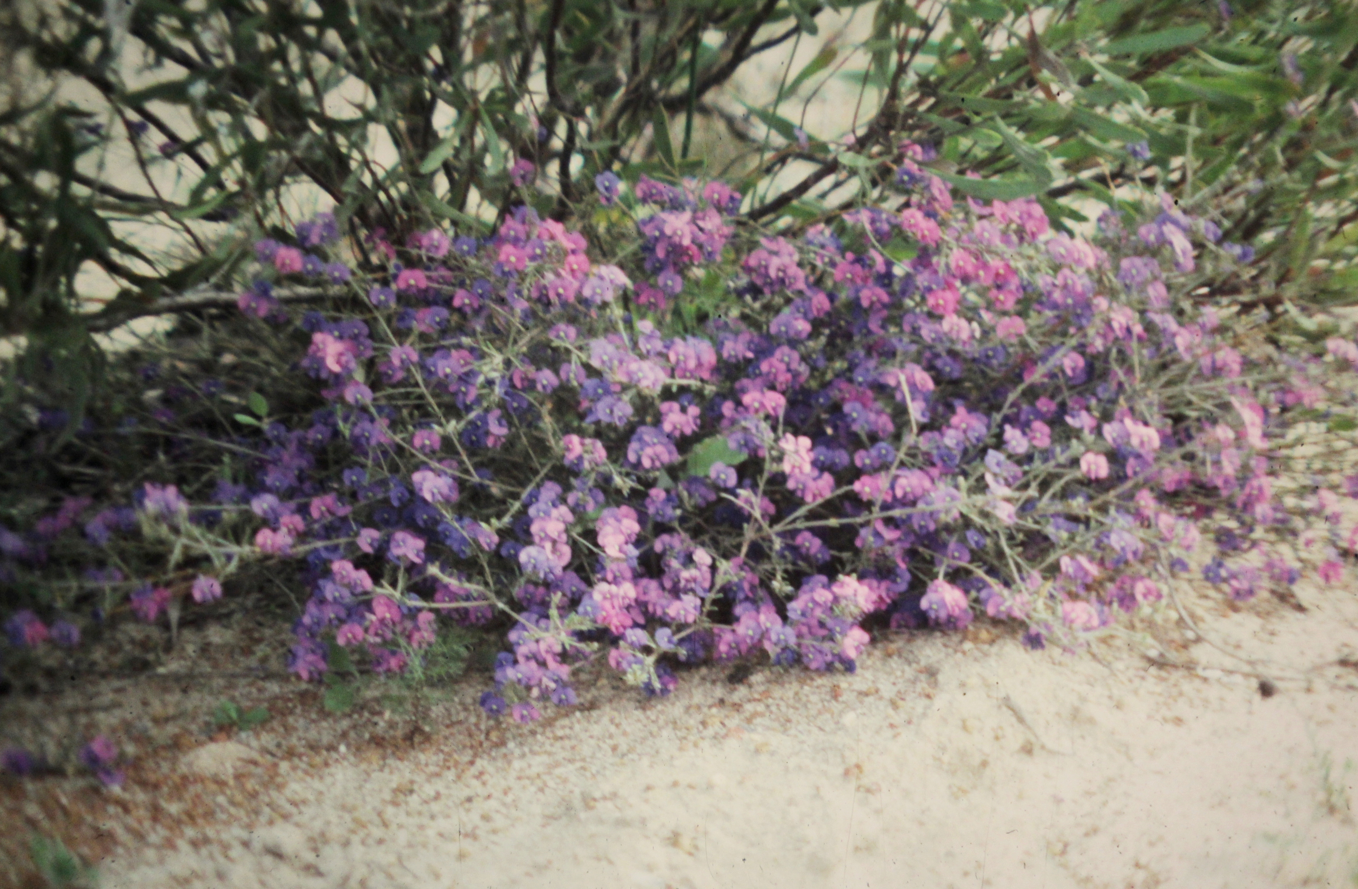 Image of Purple Mirbelia