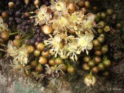 Image of <i>Drypetes usambarica</i> (Pax) Hutch.