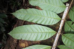 Image of <i>Entandrophragma excelsum</i> (Dawe & Sprague) Sprague
