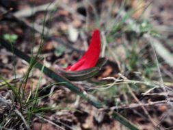 Image of <i>Leptosema aphyllum</i>