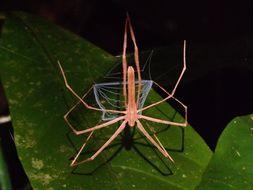 Image of <i>Deinopis longipes</i> F. O. Pickard-Cambridge 1902