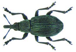 Image of <i>Pseudoperapion brevirostre</i> (Herbst 1797) Herbst 1797