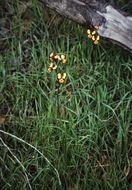 Image of Eastern wallflower orchid