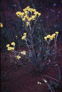 Image of <i>Waitzia nitida</i> (Lindl.) P. G. Wilson