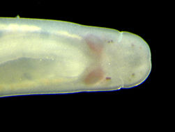 Image of milk-white ribbon worm
