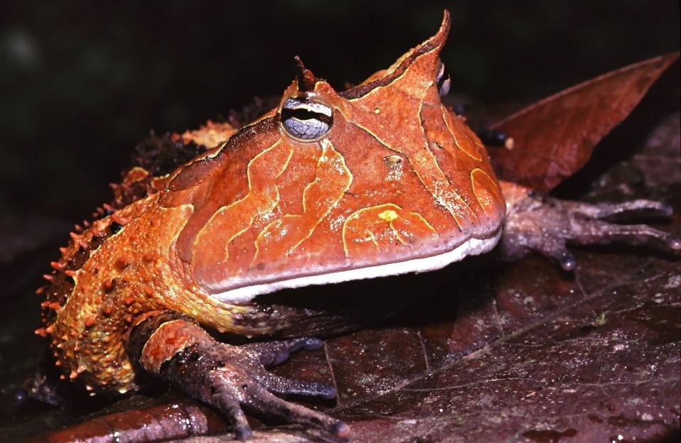 Image of Amazonian horned frog