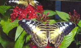 Image of <i>Parthenos sylvia lilacinus</i>