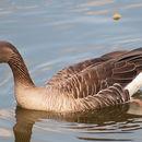 Image of Western Greylag Goose