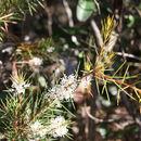 Image of <i>Hakea teretifolia</i> (Salisb.) Britten