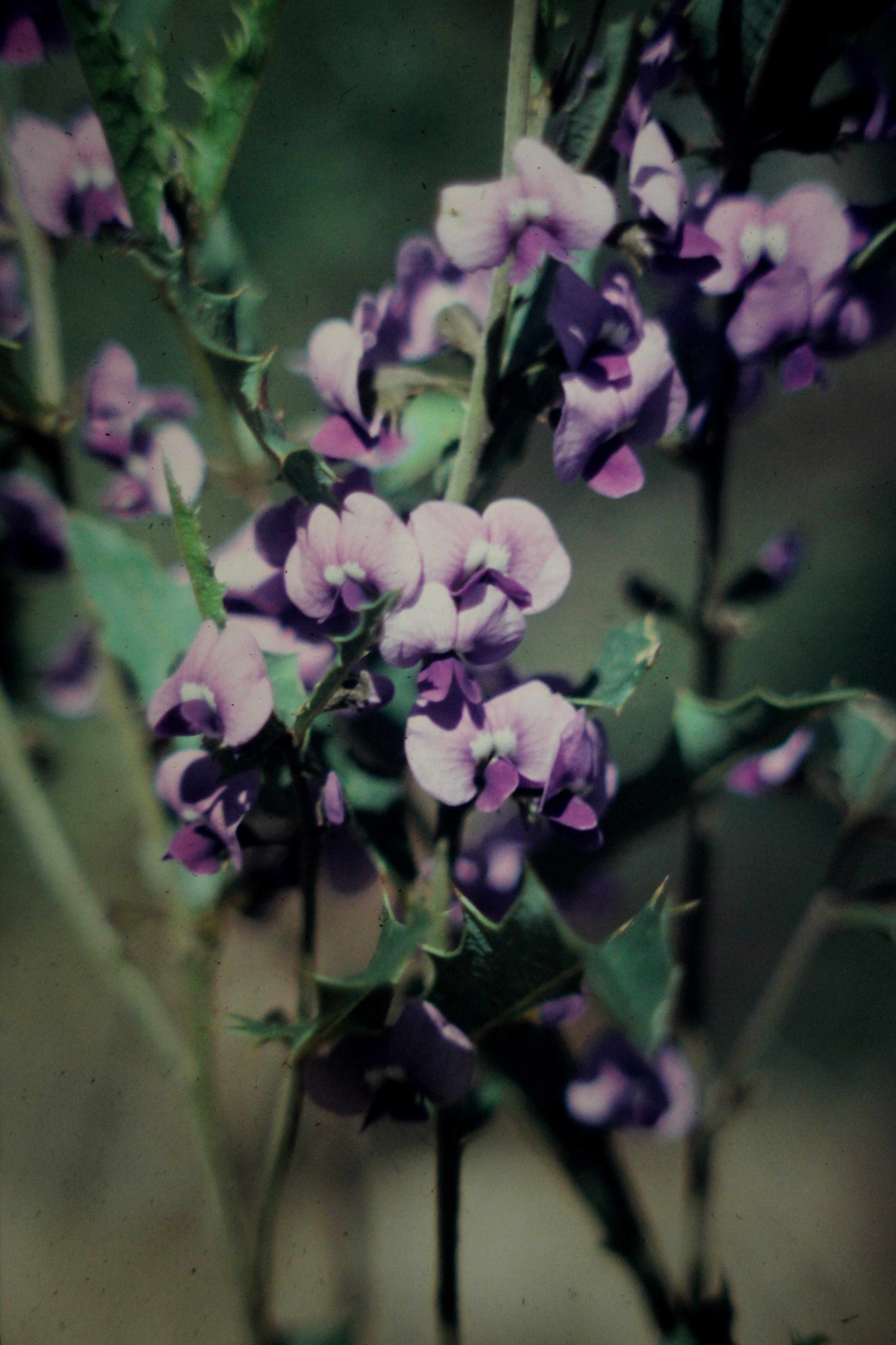 Image of Holly-leaved Hovea