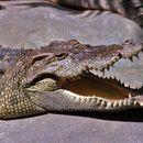 Image of Siamese Crocodile