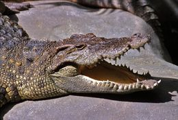 Image of Siamese Crocodile