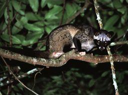 Image of Common palm civet