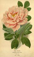 Image of <i>Paeonia suffruticosa</i>