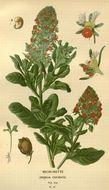 Image of garden mignonette