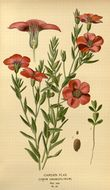 Image of flowering flax