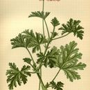 Image of sweet scented geranium
