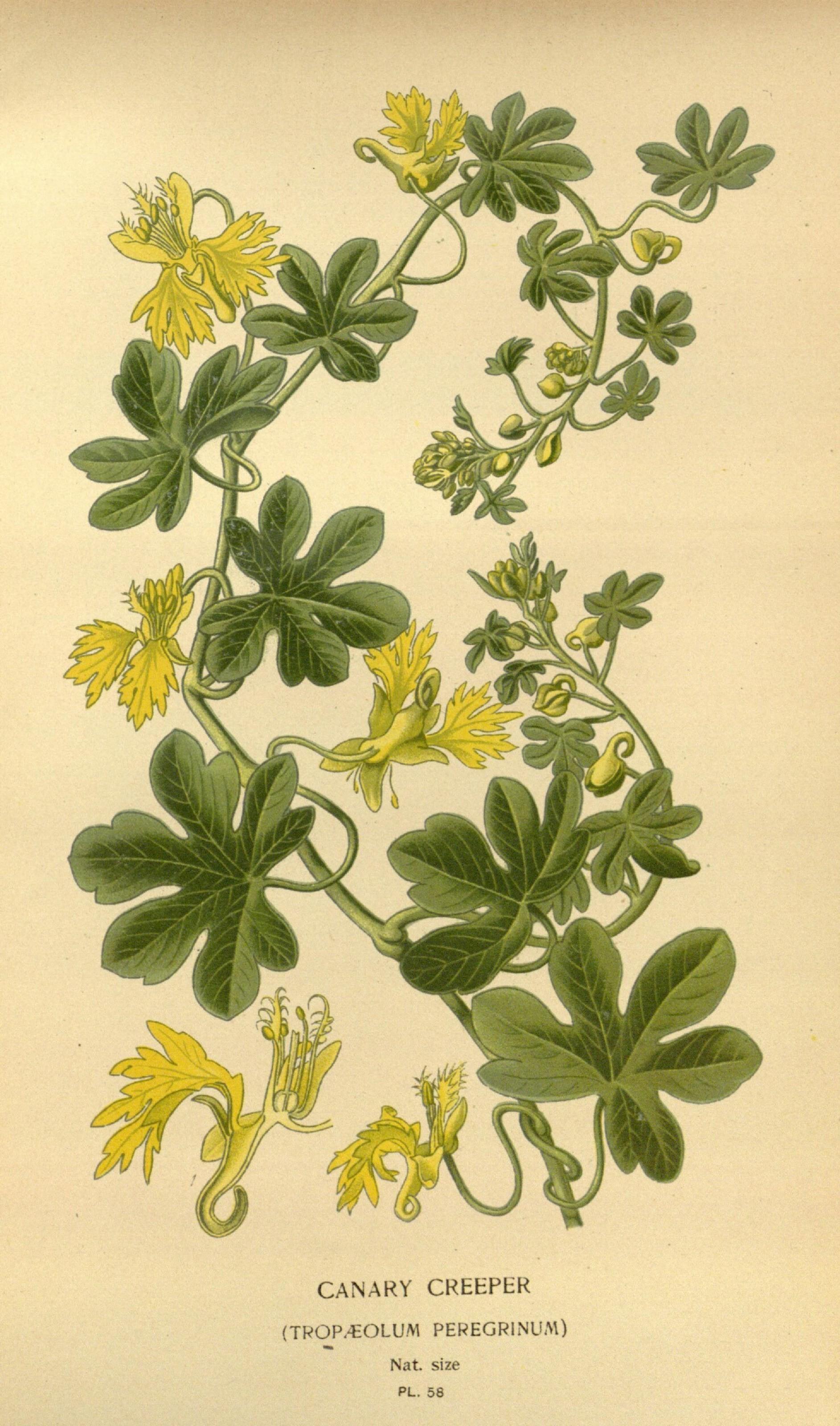 Image of <i>Tropaeolum peregrinum</i> L.