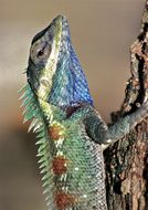 Image of Blue Crested Lizard