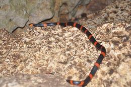 Image of Snail-eating Thirst Snake