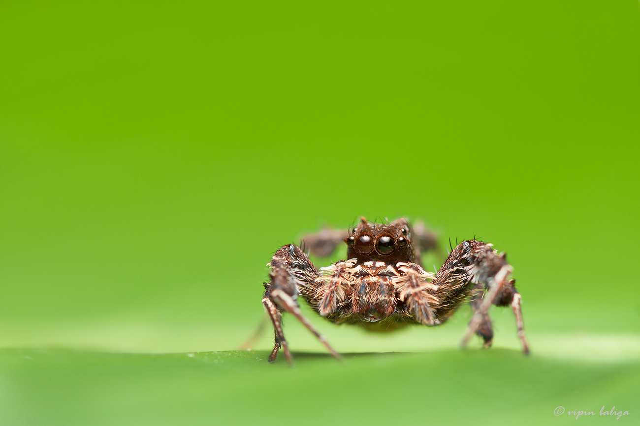 Image of Fringed Jumping Spider