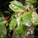Image of <i>Leptaulus holstii</i> (Engl.) Engl.