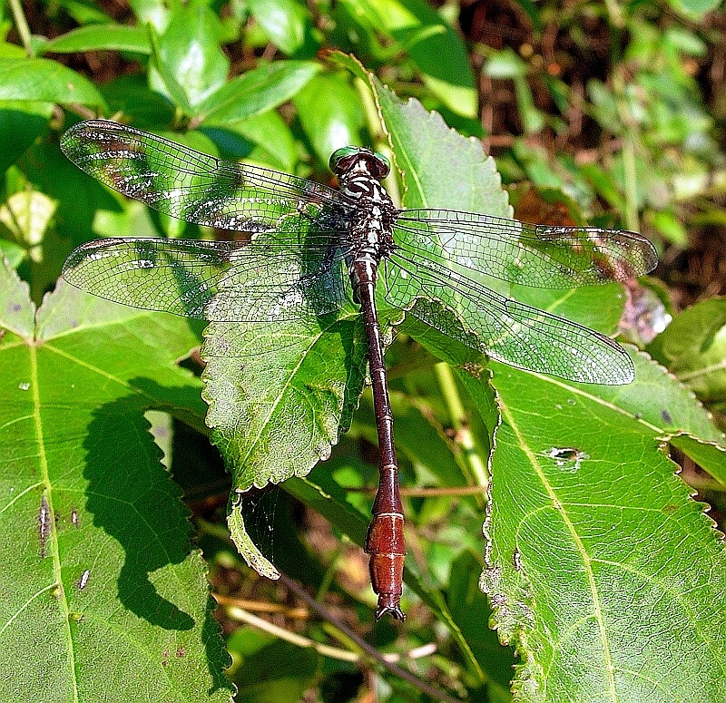 Image of Russet-tipped Clubtail