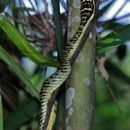 Image of Golden Tree Snake