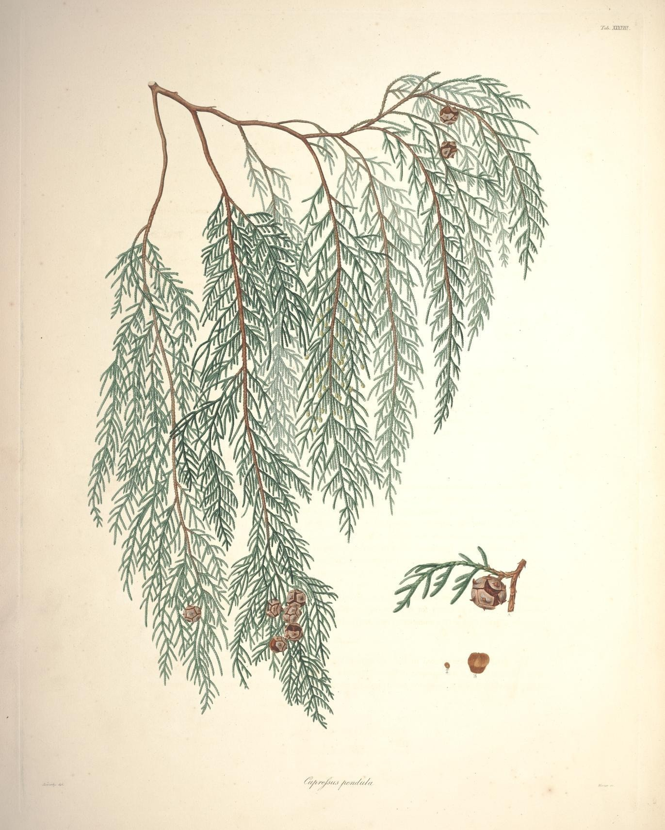 Image of Chinese Weeping Cypress