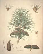 Image of Crimean pine