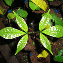 Image of <i>Quassia undulata</i> (Guill. & Perr.) D. Dietr.