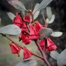 Image of <i>Eucalyptus tetraptera</i> Turcz.