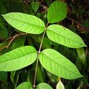 Image of Parasol tree