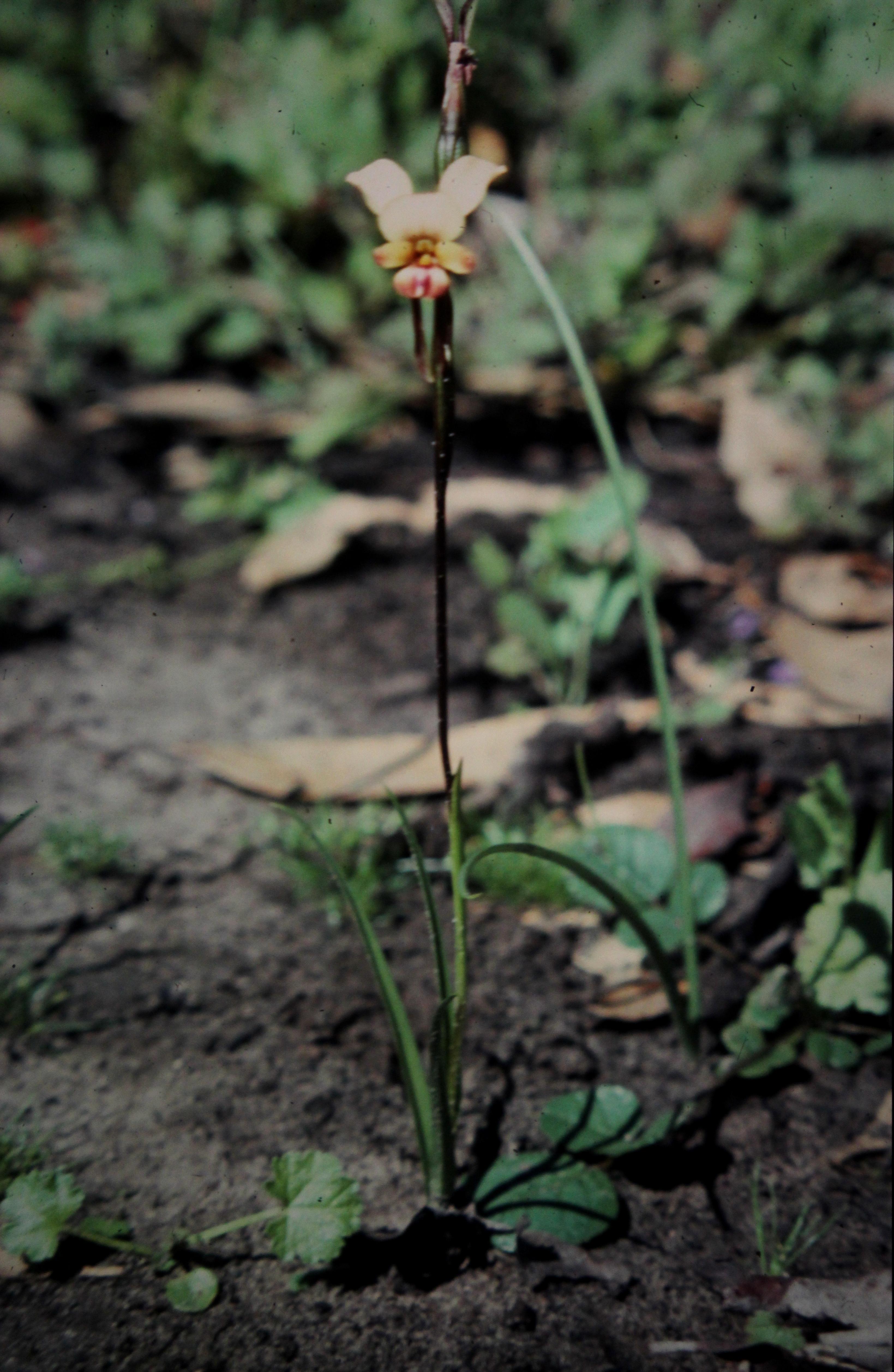 Image of Elegant donkey orchid