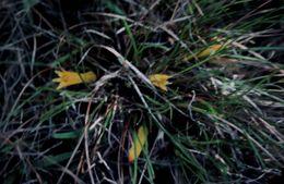 Image of <i>Conostylis bealiana</i> F. Muell.