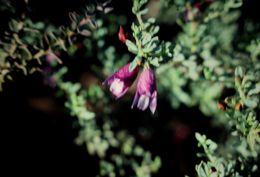 Image of <i>Eremophila weldii</i> F. Muell.