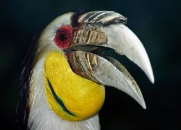 Image of Wreathed hornbill
